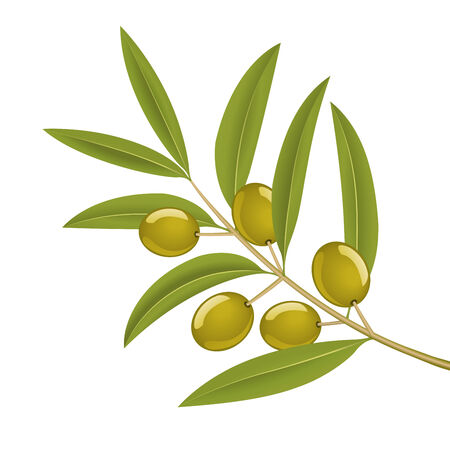 оливки: Green olives on branch, detailed vector illustration