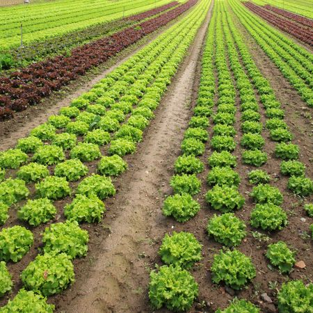 lettuces: View of rows of green and red lettuces.