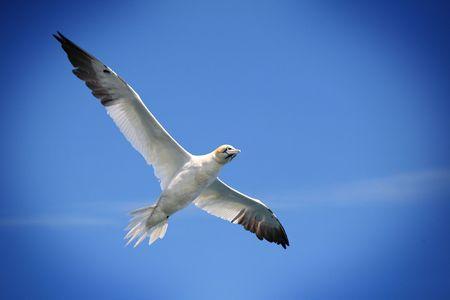 Flying fou de Bassan du Nord contre un ciel bleu, avec un effet de vignettage.