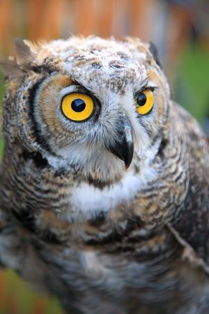 glowering: Portrait of owl with yellow eyes, soft focus