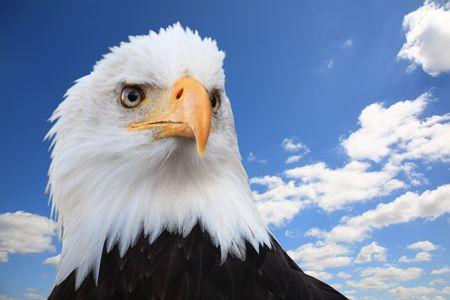 haliaeetus: Bald eagle (Haliaeetus leucocephalus) against a blue sky, wide angle. Stock Photo