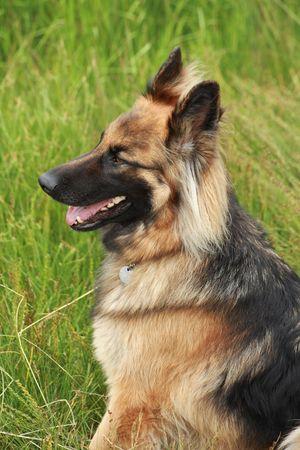 German shepherd in the countryside Stock Photo - 3546841