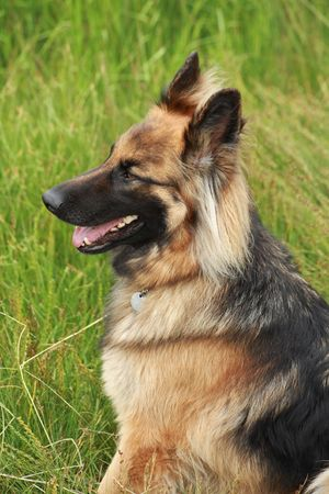 German shepherd in the countryside Stock Photo - 3546841