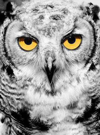 fascinate: Portrait of owl with yellow eyes