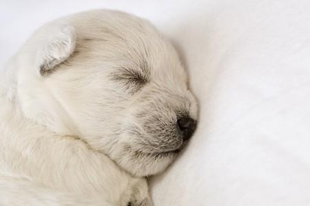 cute westie: Adorable sleeping puppy