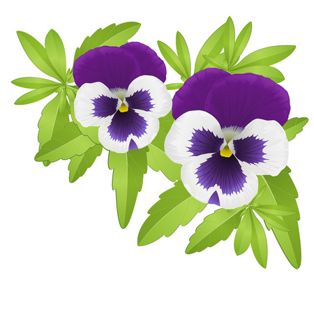 Pansy floral element composed with violet pansies Illustration
