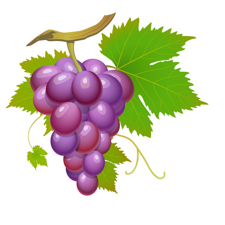 Purple grape cluster with green leaves isolated Illustration