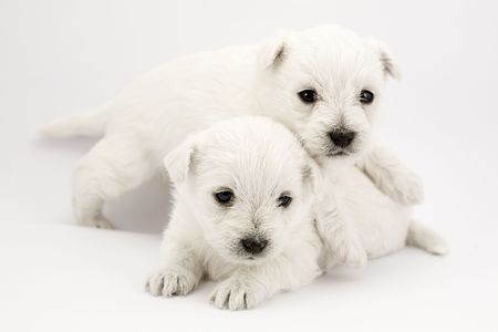 cute westie: Adorable playing puppies