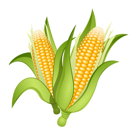 vegetables on white: Two ears of corn isolated Illustration