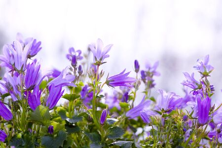 Bellflowers in the garden Stock Photo - 17707787