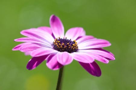 garden marigold: Purple Osteospermum, shallow dof, african daisy over green blurry background