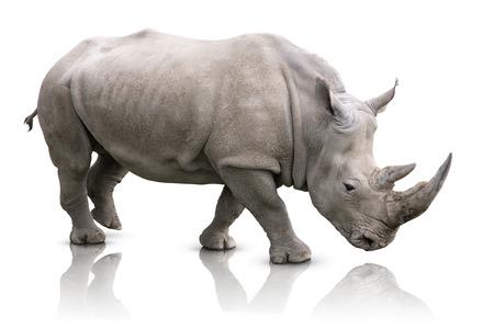 nashorn: White Rhino - Ceratotherium simum