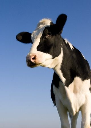 cow head: Holstein cow over blue sky