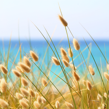 duna: Conejito colas Hierba Lagurus Ovatus creciente sobre las dunas Foto de archivo
