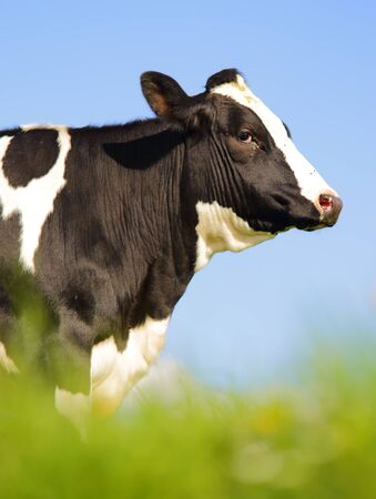 holstein cow: Single Holstein cow in the pasture Stock Photo
