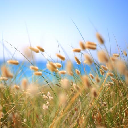 duna: Conejito colas Hierba Lagurus Ovatus en el viento Foto de archivo