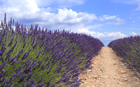 Lavender field viewed from ground in Provence. Valensole, Provence, France, Europe. Stock Photo