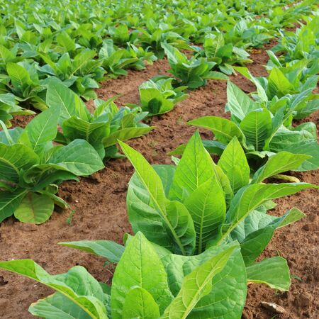 land plant: Tobacco plantation in a field