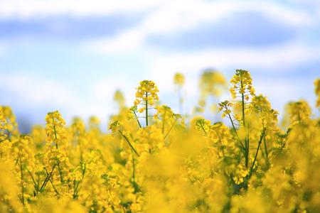 A field of yellow rape, spring rural scene Stock Photo