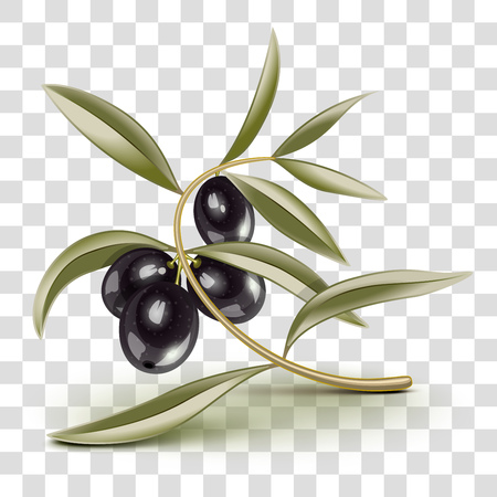 Transparent Black olives branch on a branch