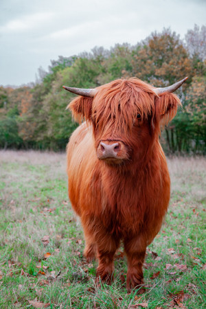 A Scottish Highland Cow in the meadow