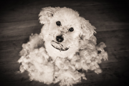 After grooming and haircut bichon frise dog fur