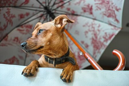 Miniature Pinscher dog waiting her owner on the sofa, viewed from below