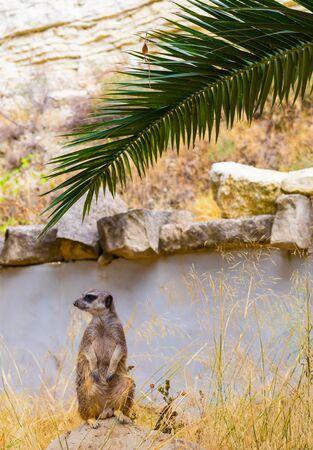 Meerkat (Suricate) sitting in the nature