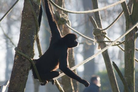 Backlighted spider monkey on the rope Reklamní fotografie