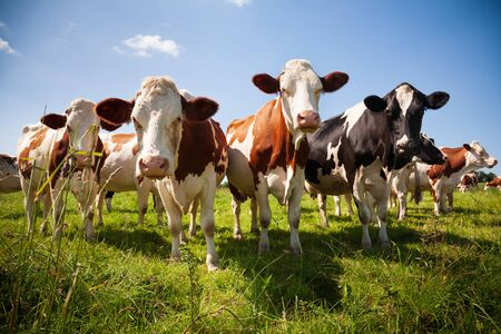 Herd of cows in the green pasture looking Stock Photo