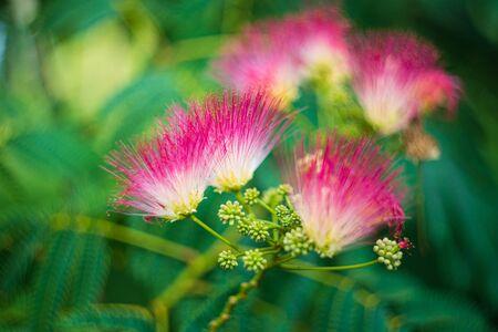 Albizia julibrissin. Bloom pink flower, shallow depth