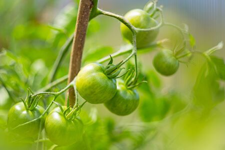 Green unripe tomatoes growing on branch