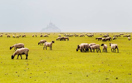 Sheeps eating grass and Mont Saint Michel on the background, Normandy, France