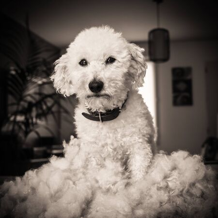 Dog after grooming and haircut, black and white