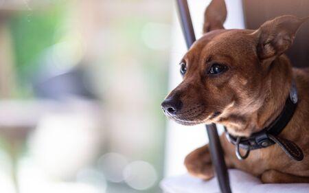 Miniature pinscher dog at home, bokeh and copy space Reklamní fotografie