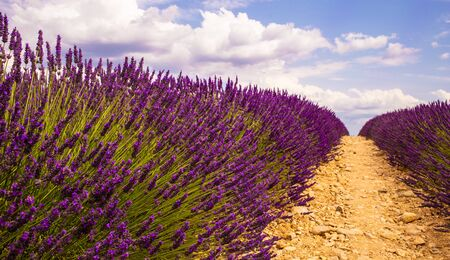 Lavender Cultivated Field In Provence, France