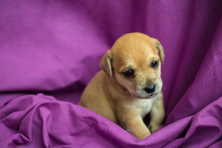 Brown puppy in folds of purple fabric