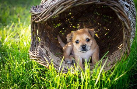 Brown puppy in a wicker basket in the nature