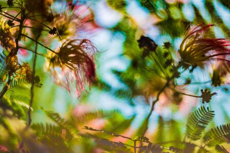 Albizia julibrissin or silk tree in blossom with pink flowers