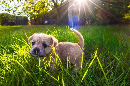 Brown puppy playing in enlightened grass Stock fotó