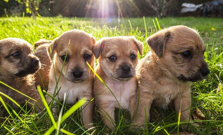 Four brown puppies playing in the grass Stock fotó