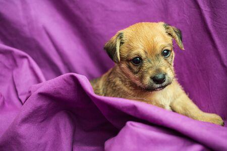 Cute puppy in folds of purple fabric