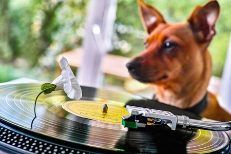 Concept of a funny dog near a record player with vinyl disc and white flower