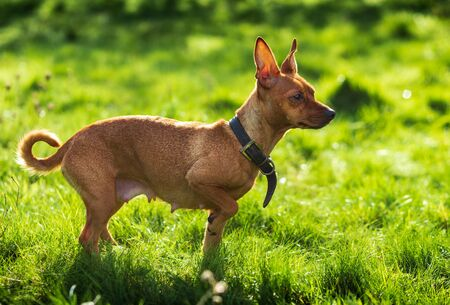 Miniature pinscher dog in the green nature