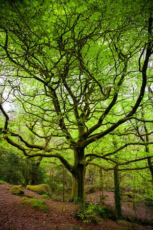 Big old tree wih moss in a tale forest
