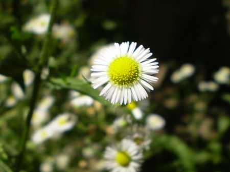 Photo of chamomile flowers with yellow center and white petals photo of chamomile flowers with yellow center and white petals on blurred green with black nature mightylinksfo