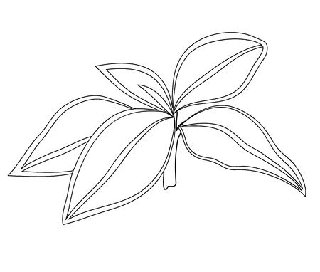 Vector illustration, isolated plant Aglaonema in black and white colors