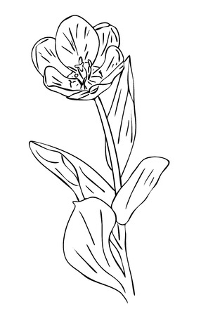 Vector illustration, isolated tulip flower with leafs in black and white colors, outline hand painted drawing