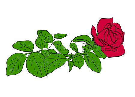 Vector illustration, red rose flower with green leafs isolated on white background, outline hand painted drawing