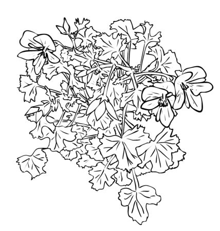 Vector illustration, isolated Pelargonium houseplant flowers with leafs in black and white colors, outline hand painted drawing Illustration
